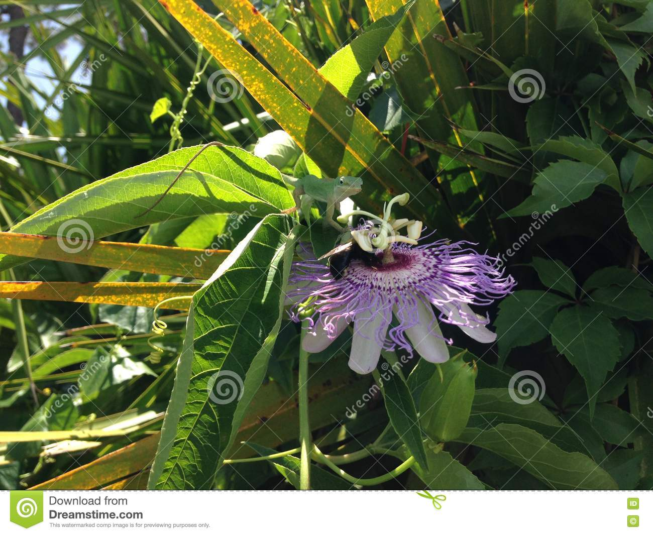 Anoles Carolinensis (Green Anole) Lizard Eating Passiflora (Passion Flower) Plant Blossom.