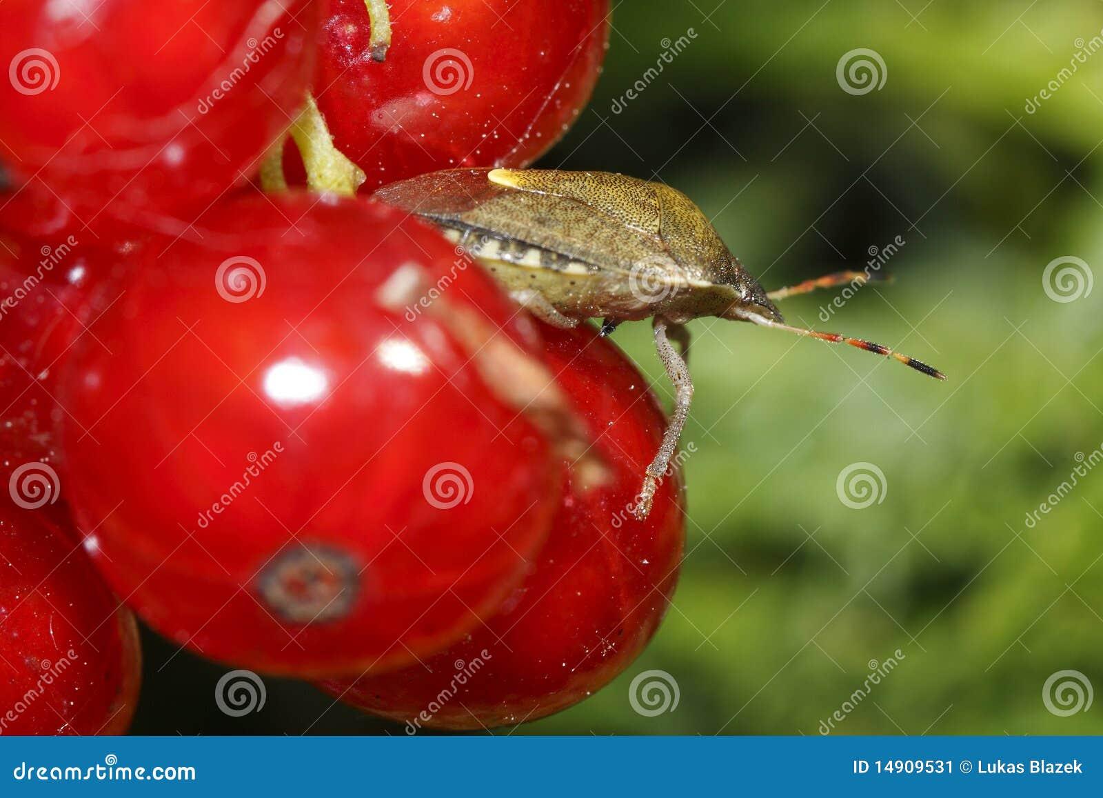 Anomalie de parent sur les groseilles rouges