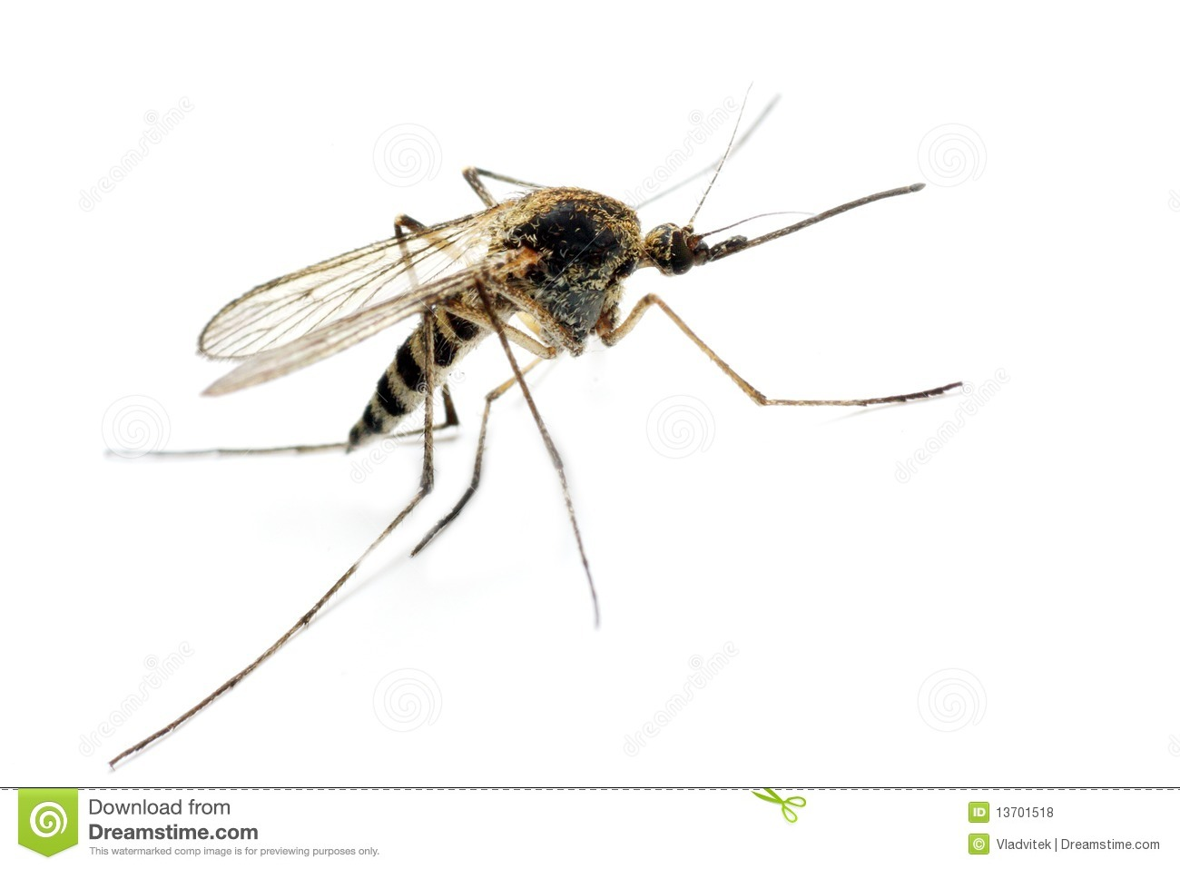 Anopheles mosquito - dangerous vehicle of infection - isolated on ...