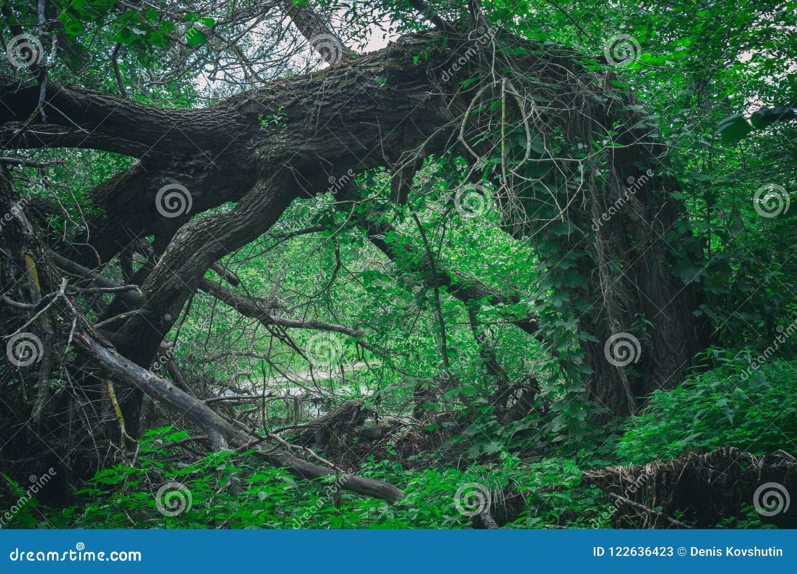 Anormaler erschreckender furchtsamer gefallener großer Baum in einem dichten Wald in Form eines Tors Einstiegstür zum dunklen Wal