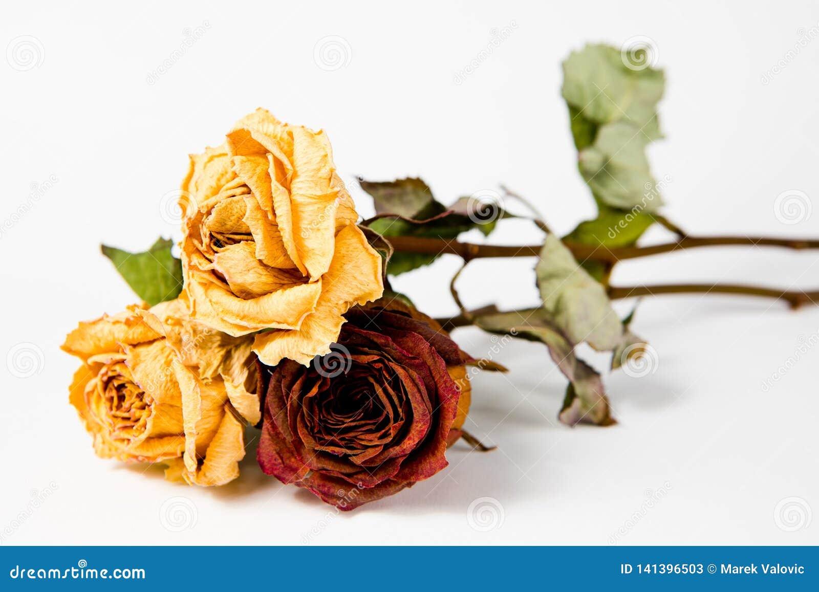 10 anos de rosas velhas - rainhas desvanecidas secas de toda a flora