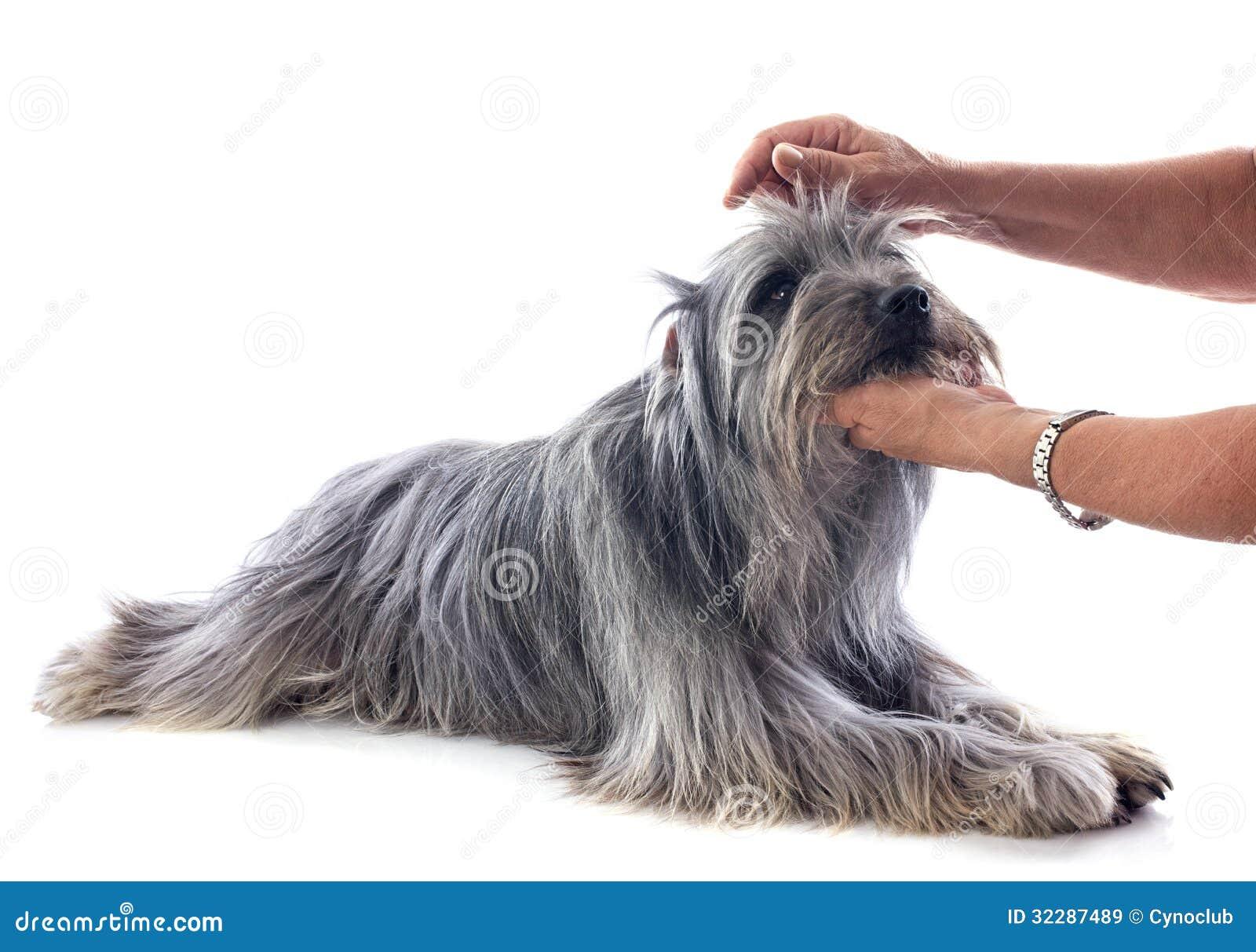Ansa av den Pyrenean fårhunden