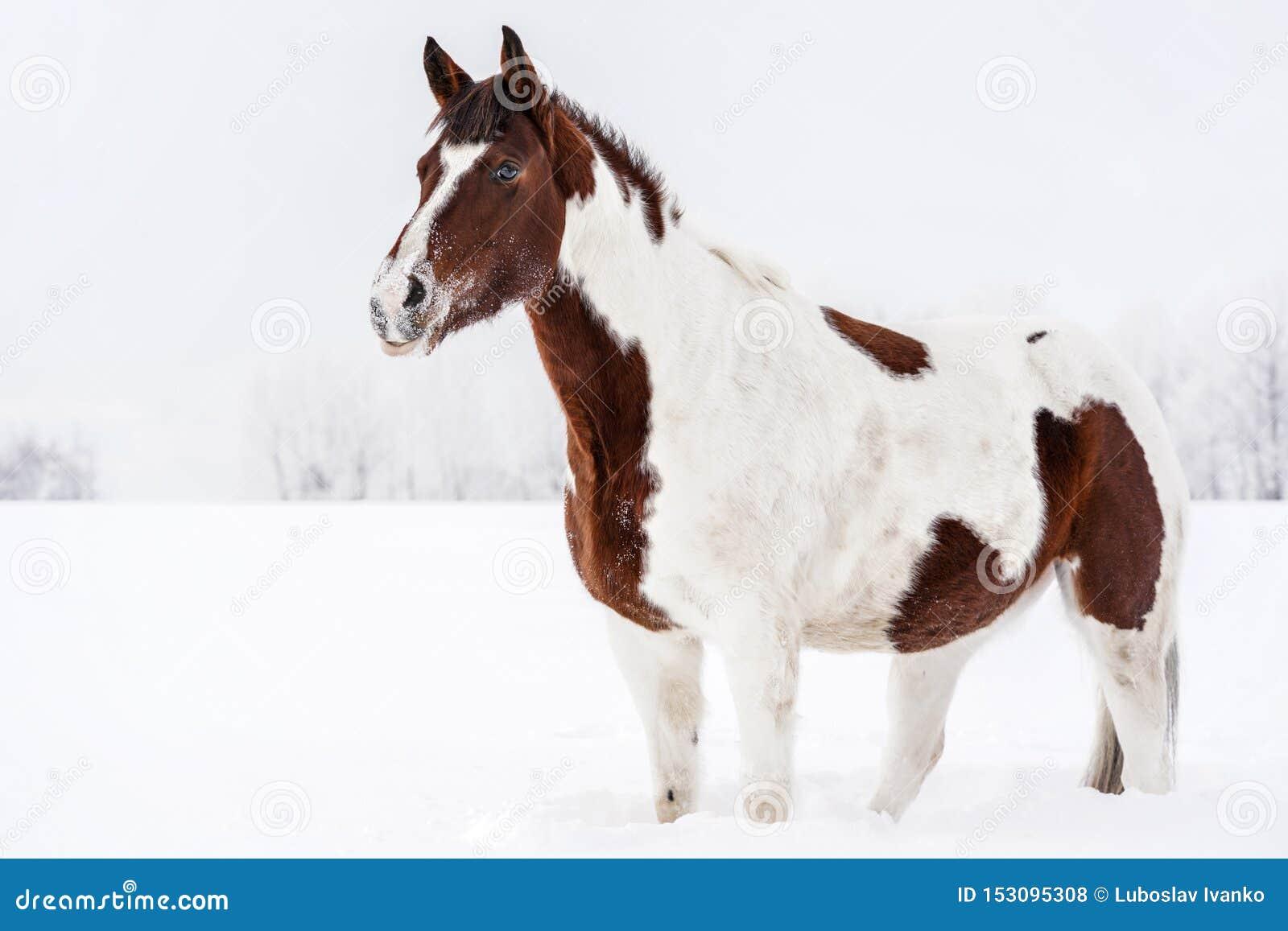 Anseende för brun och vit häst i vinter, hennes framsida som täckas med snö från att spela på jordningen, mulen himmel och trädba