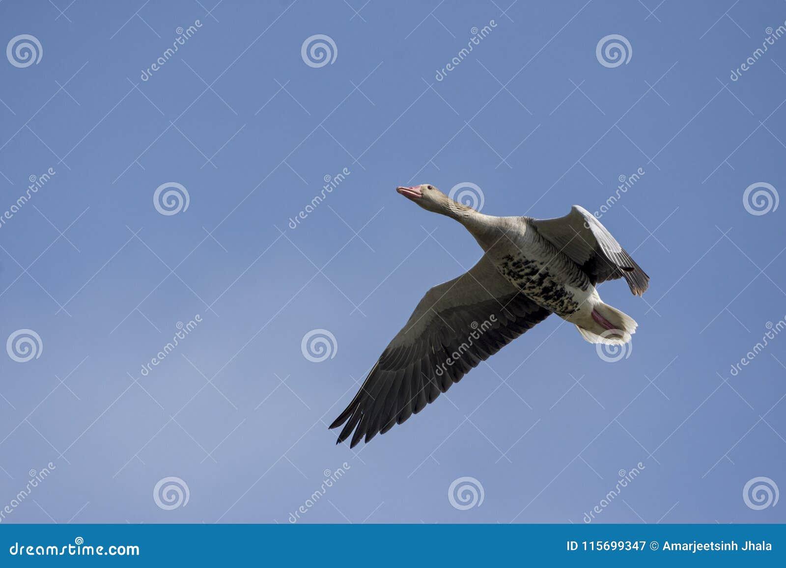 Anser do Anser do ganso de pato bravo europeu em voo