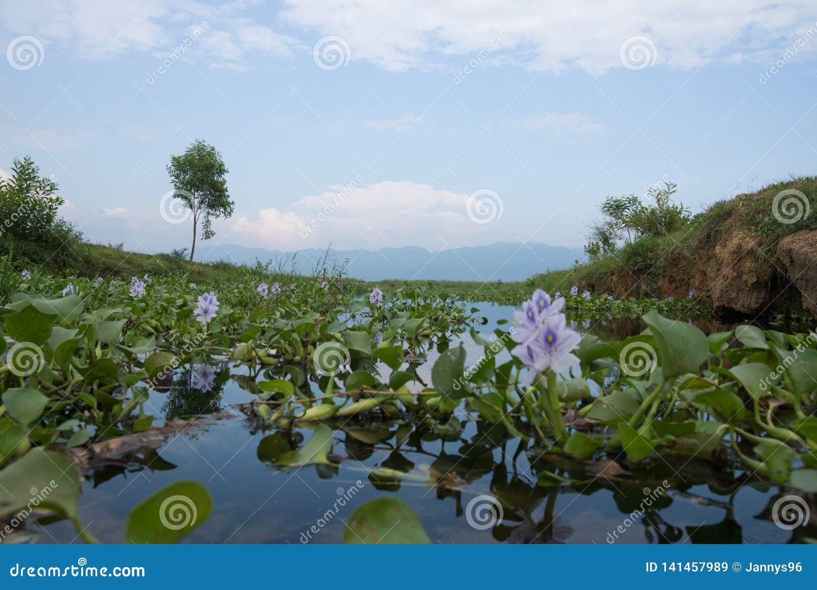 Ansicht über inle See mit der purpurroten Blume gesehen von der Froschperspektive in Myanmar