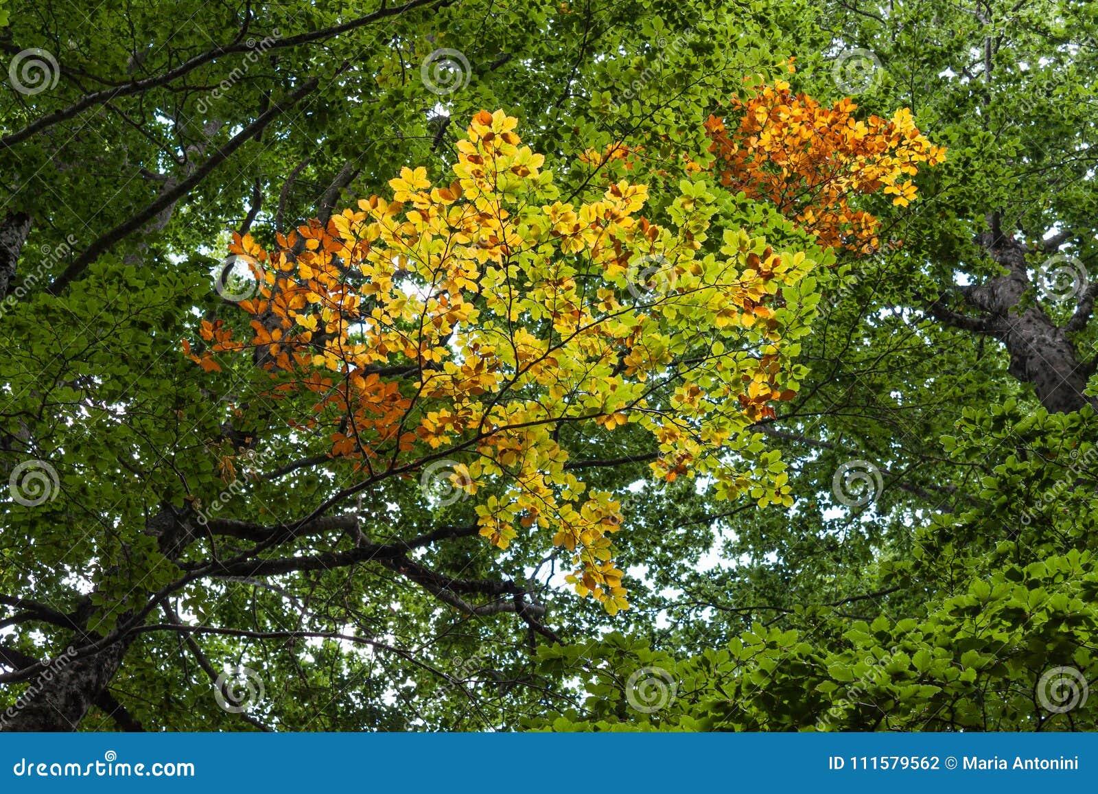 Ansicht des Herbstbaums im nationalen Gebirgspark in Abruzzo Italien
