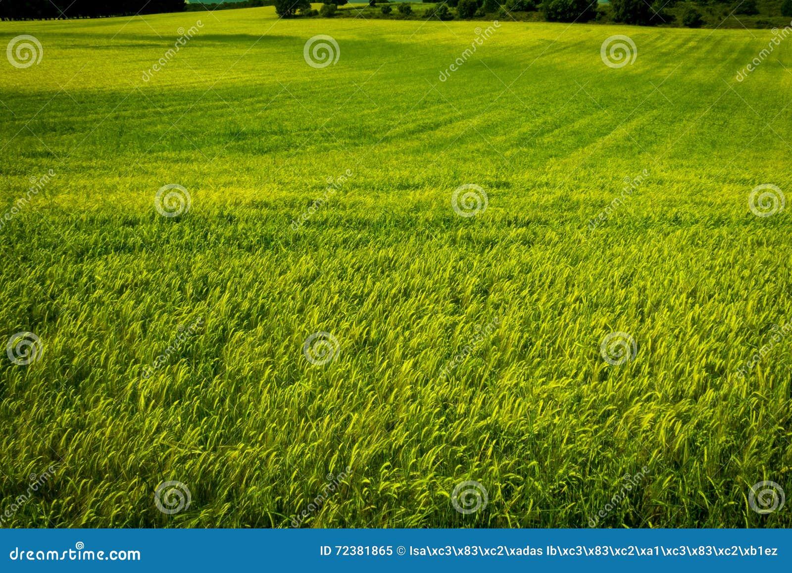 Ansicht eines Weizenfeldgrüns