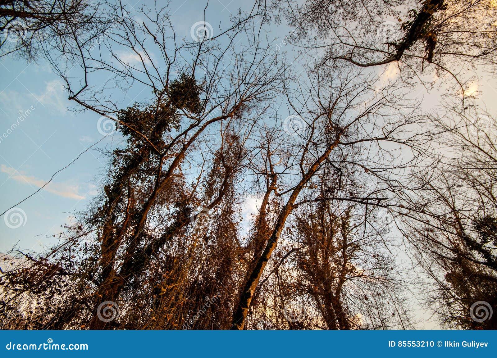 Ansicht von unten von hohen alten Bäumen im Winterwaldblauen Himmel im Hintergrund Aserbaidschan, Kaukasus