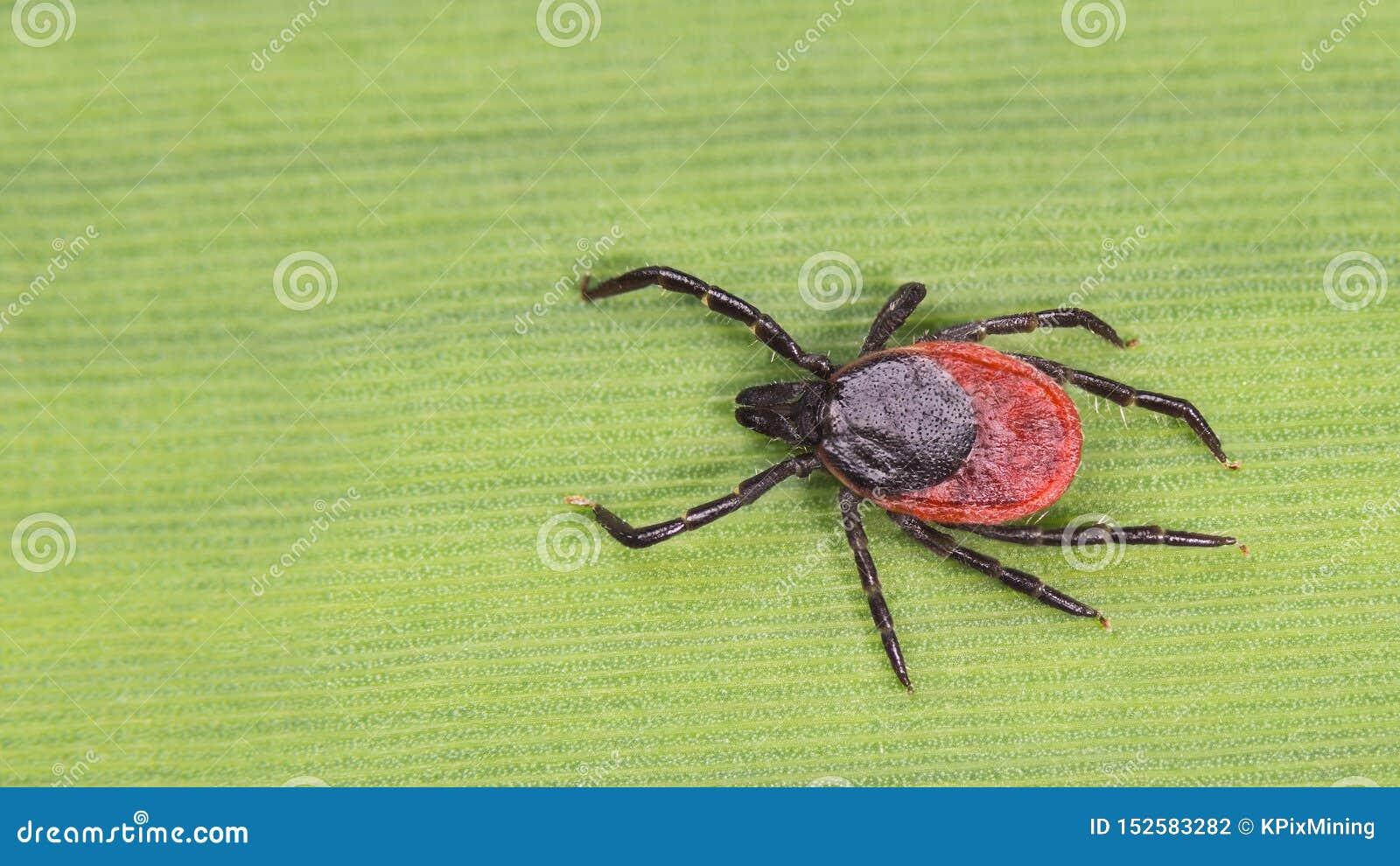 Ansteckende Rotwild ticken Detail Gefährliche Milbe Ixodes Ricinus Acari