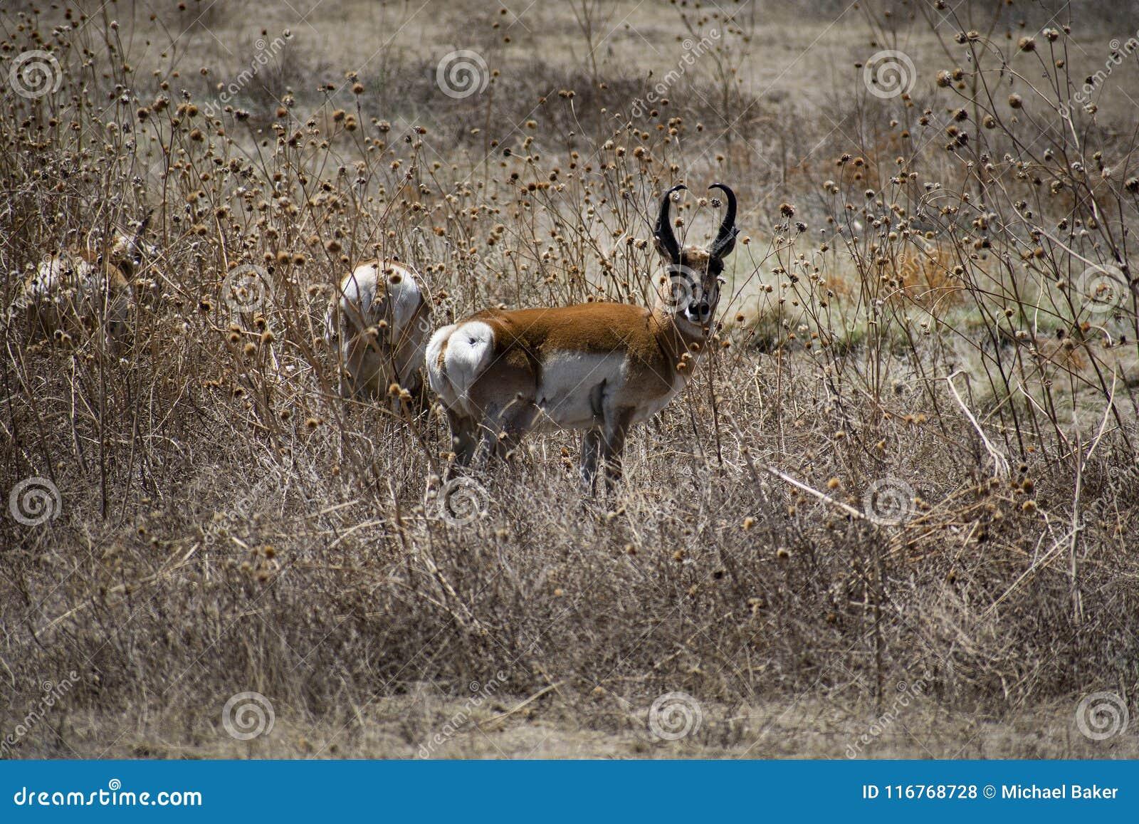 Antílope americano Buck Stare de Pronghorn