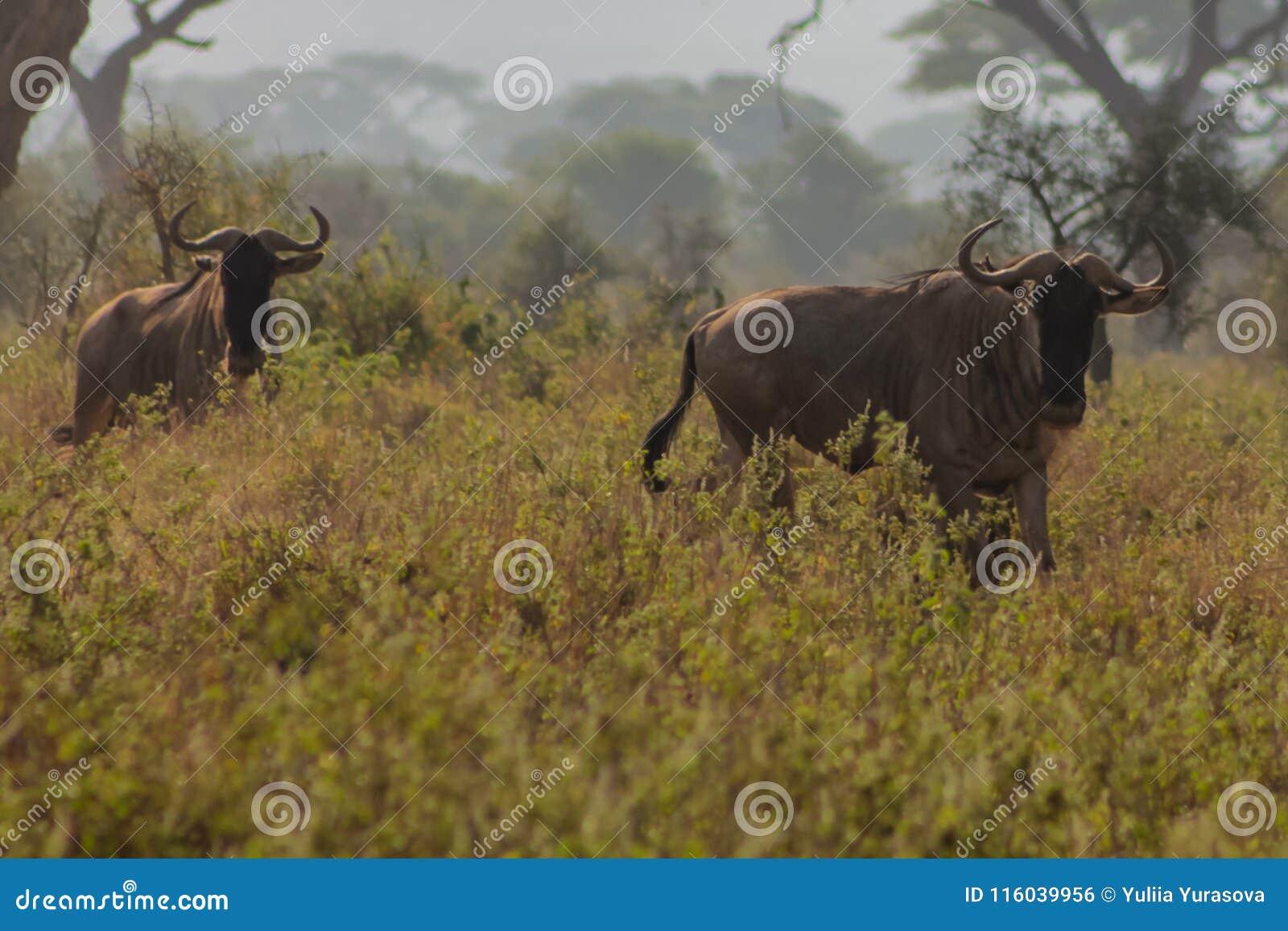 Antílope del ñu en naturaleza salvaje de la sabana de África