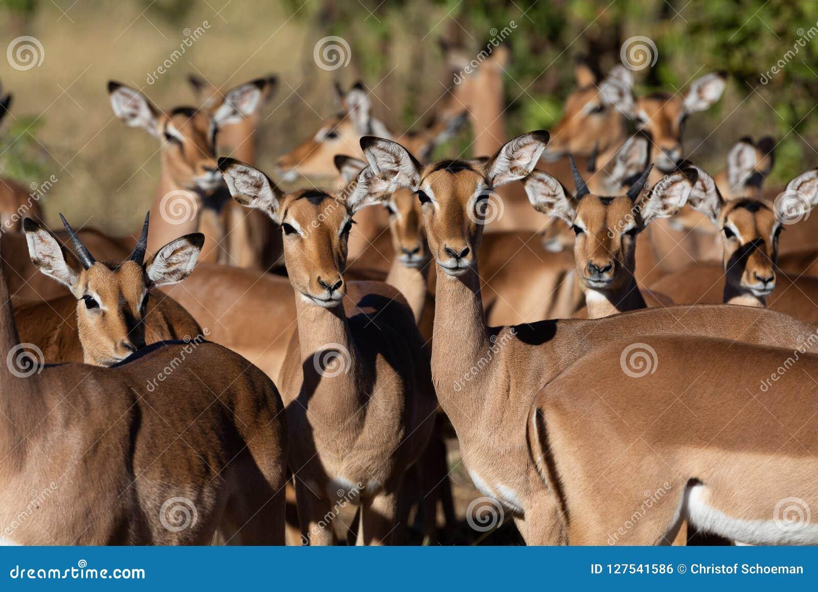 Antílope del impala que se une