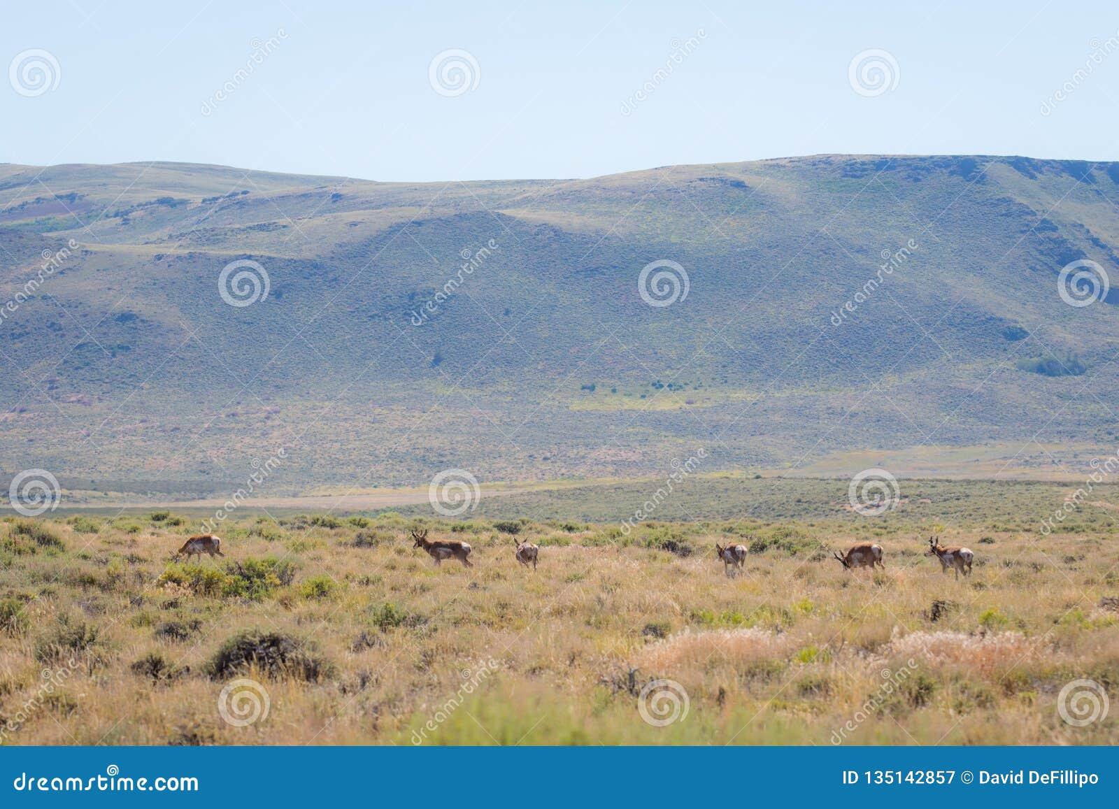 Antílope en el desierto