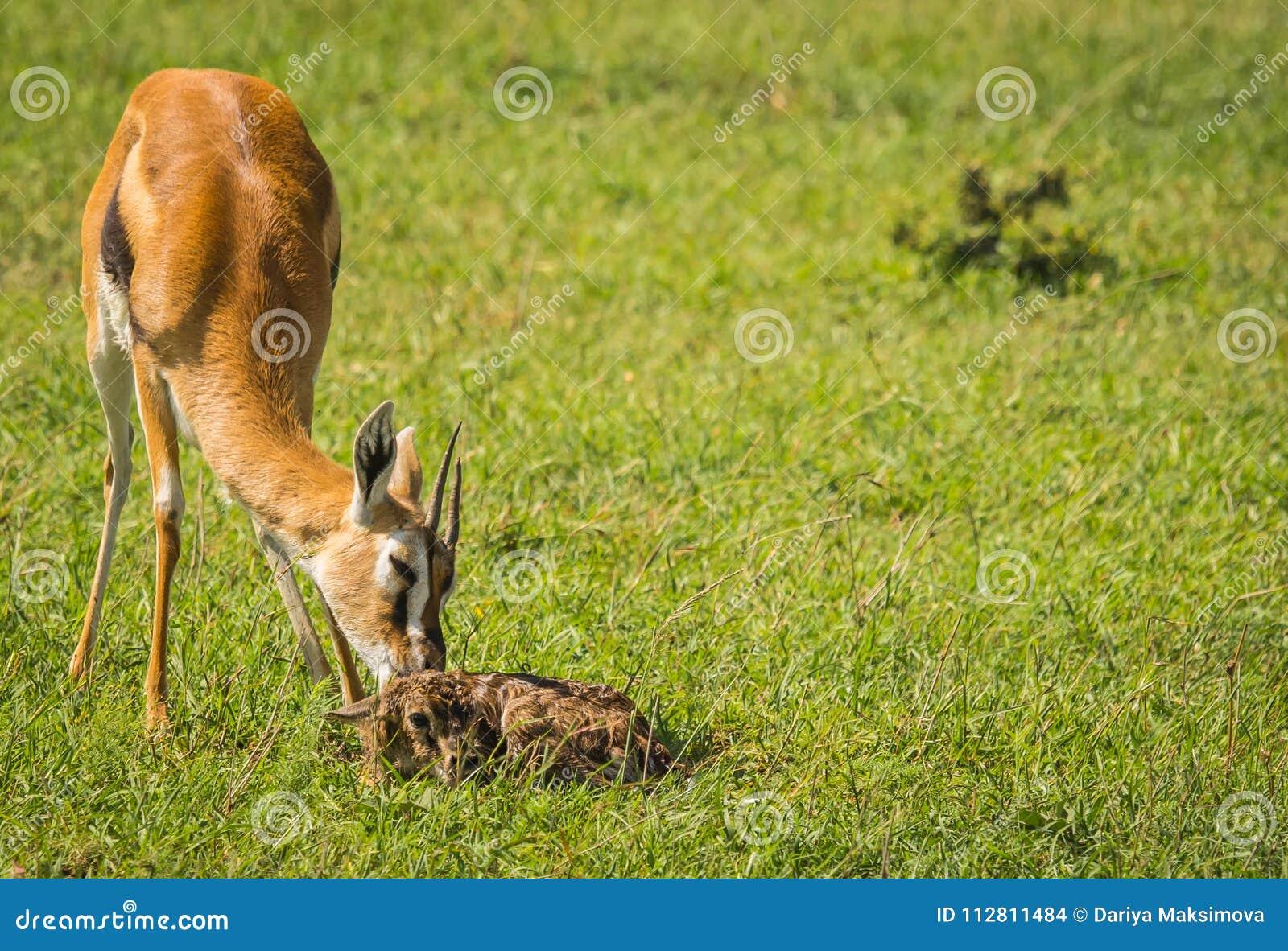 Antílope Thompson e seu bebê recém-nascido no Masai Mara, Kenya