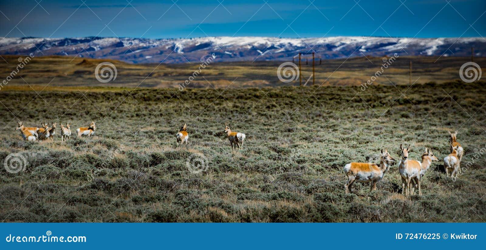 Antílope Wyoming EUA do chifre do dente