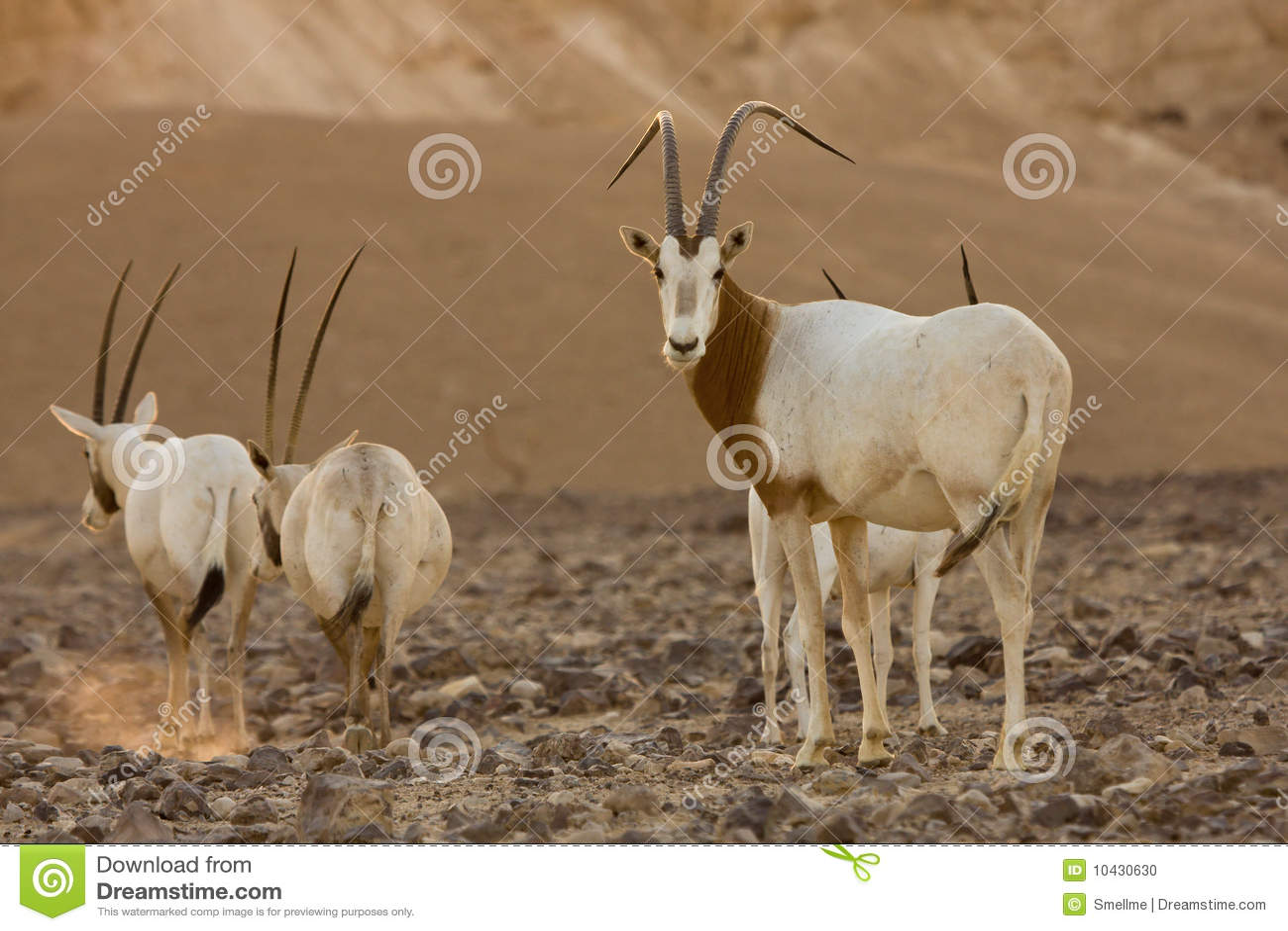 Antílopes del oryx del Scimitar