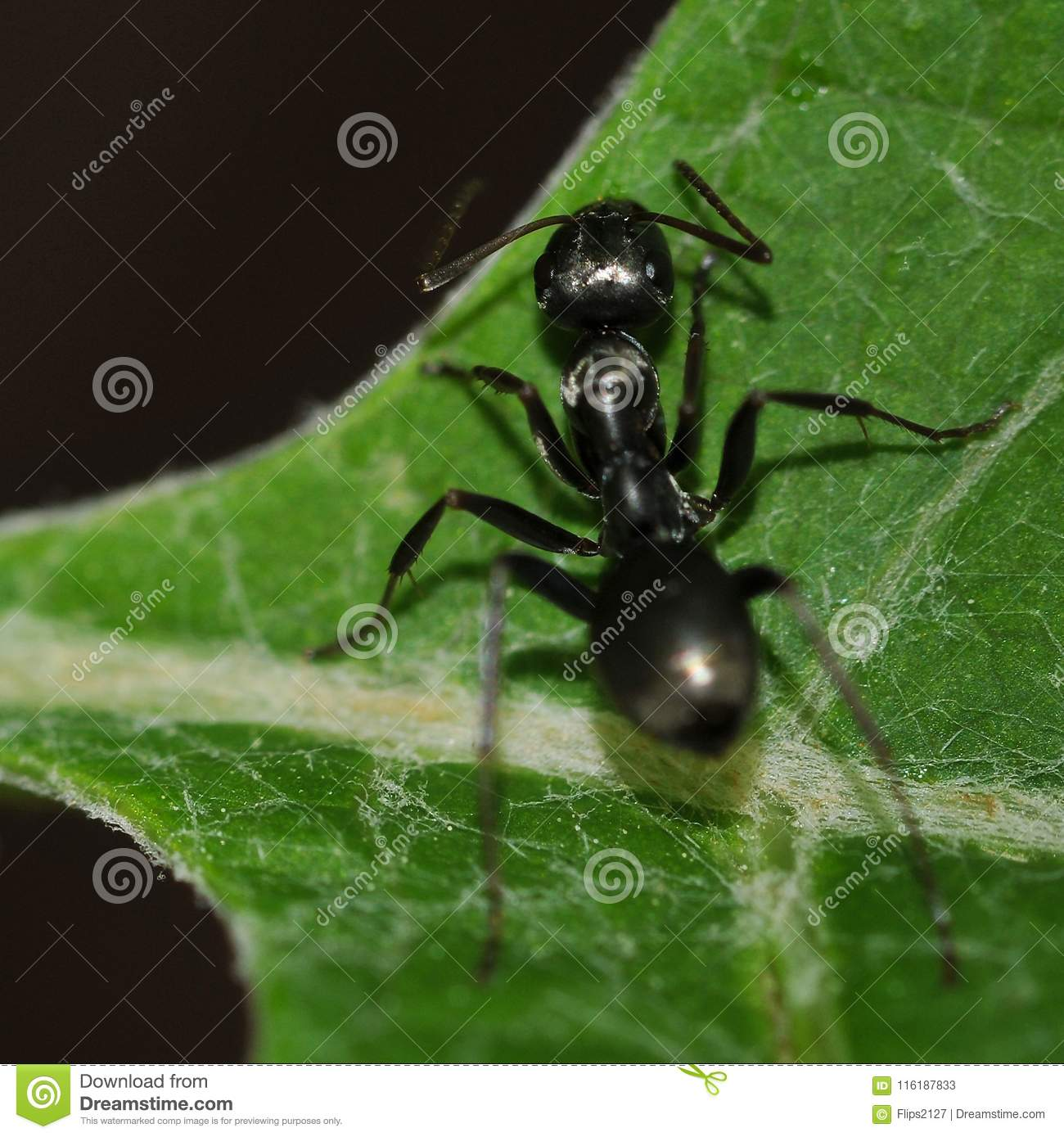Ant crawling to the edge of a leaf