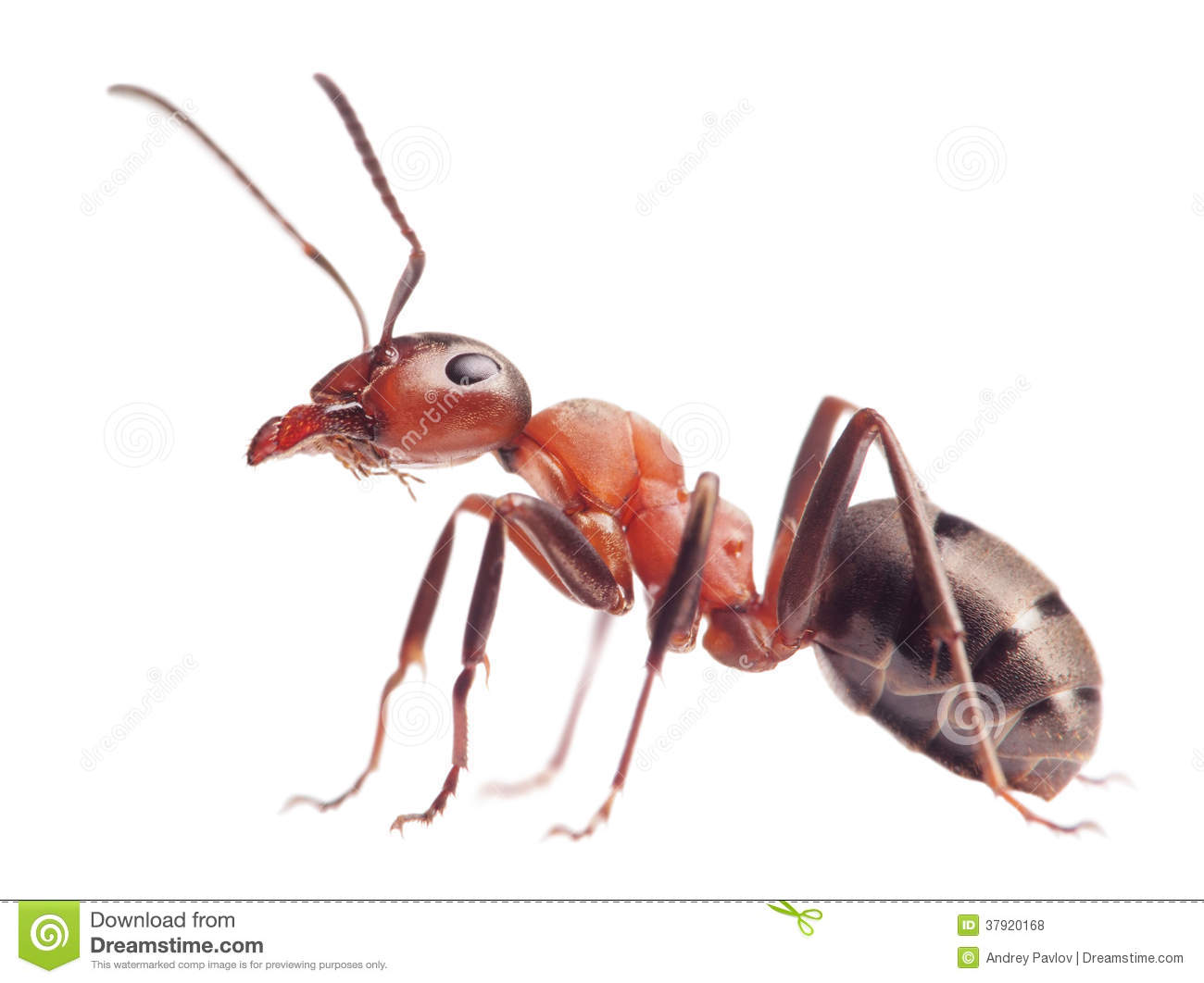 Ant Formica Rufa On White Royalty Free Stock Photos - Image: 37920168