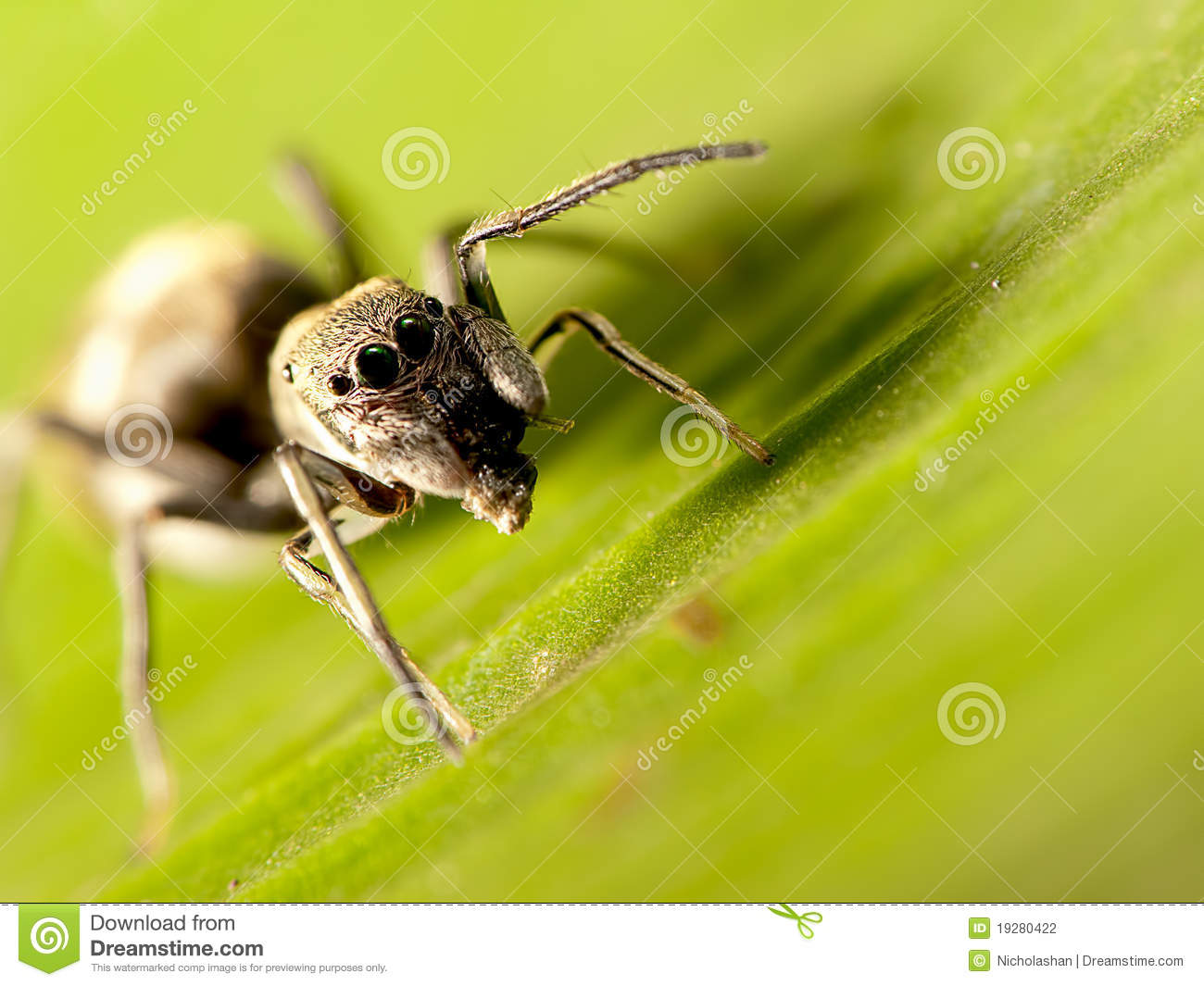 Ant-mimic jumping spider