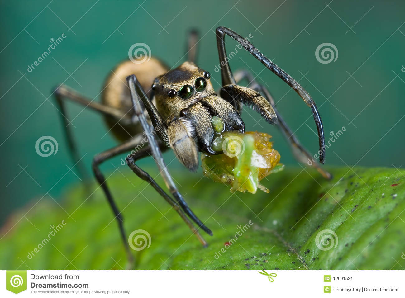 An ant-mimic Jumping spider with prey