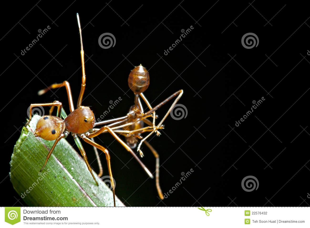 The ant mimic spider with its food