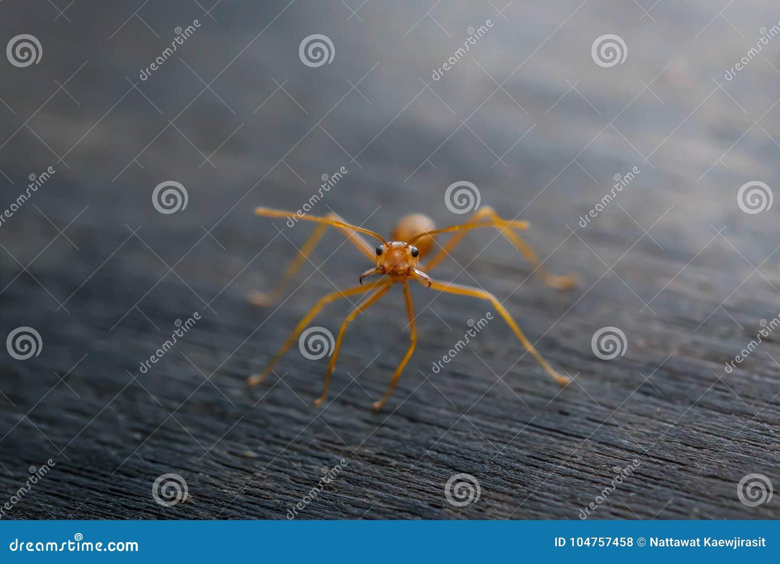 Ant standing on wooden floor