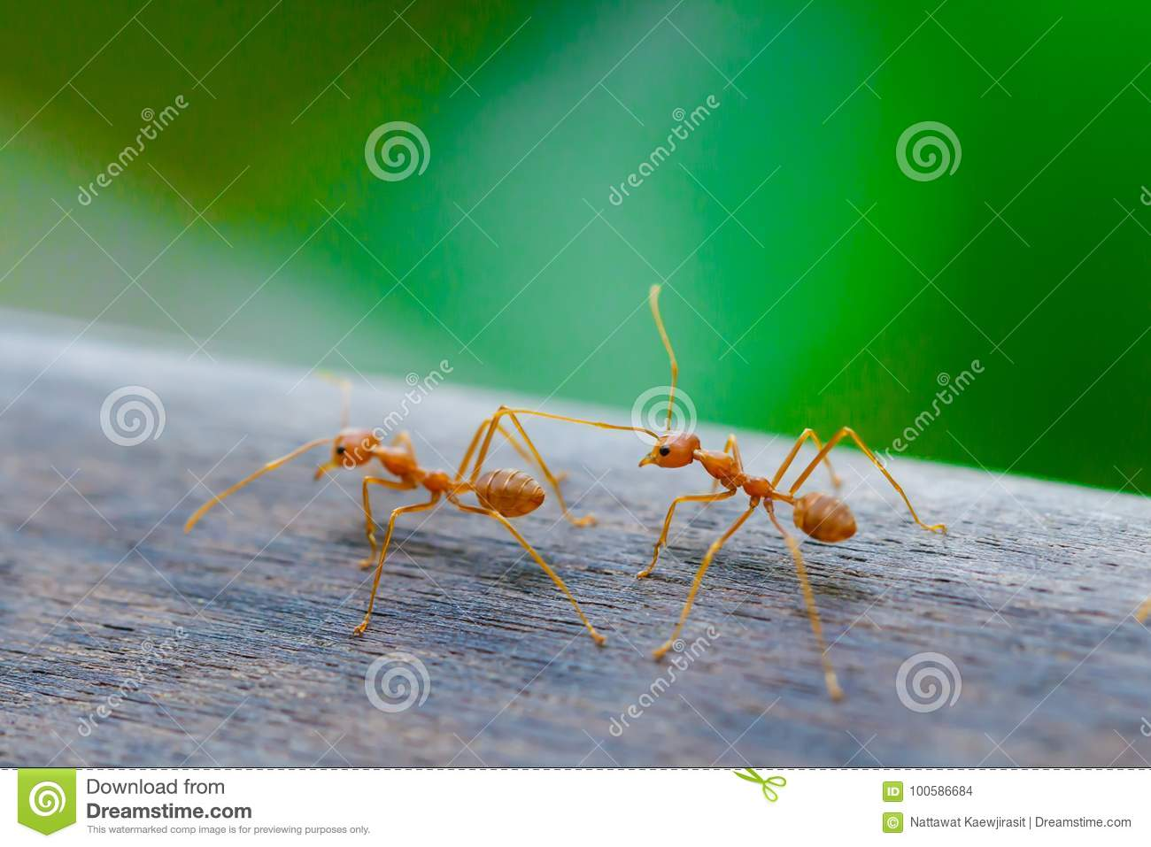 Ant Standing On Wooden Floor Stock Photo - Image: 100586684