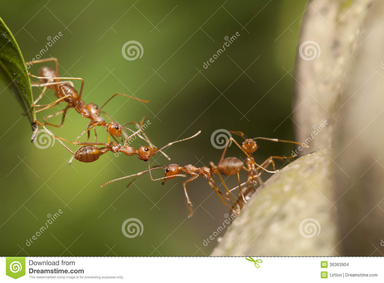 Ant teamwork stock photo. Image of life, teamwork, insect ...
