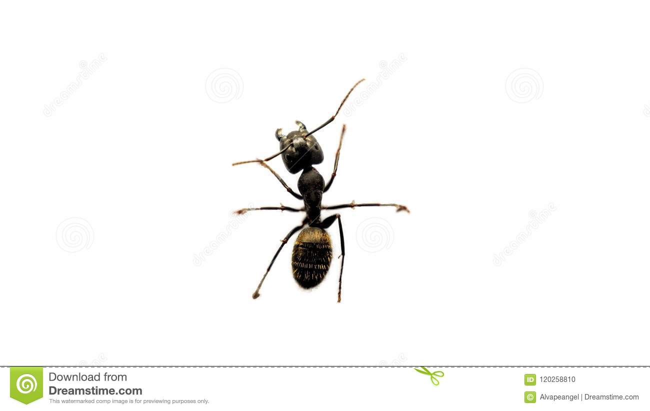 An ant on a white background