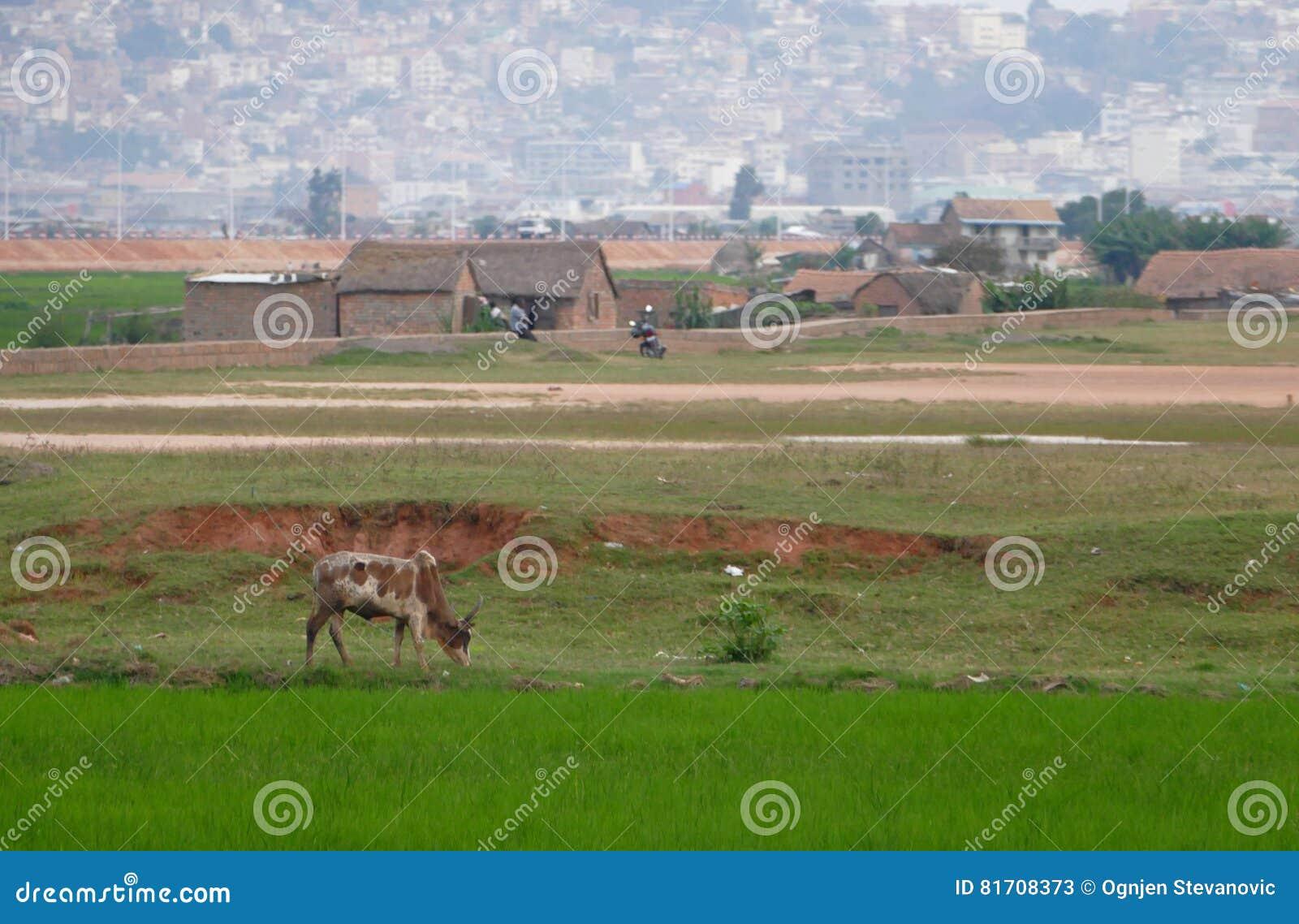 Antananarivo, madagascar 24 DE NOVEMBRO DE 2016: Campos do arroz em louco