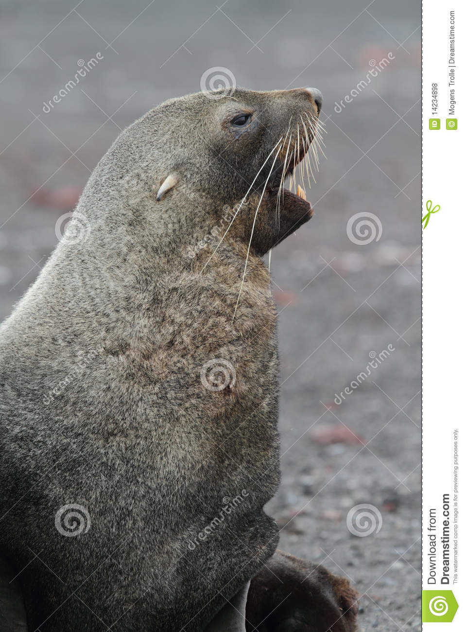antarctic fur seal essay The other common name, kerguelen fur seal, is seldom used antarctic fur seals are part of the group arctocephalinae and evolved to their present form in the past 2–3 million years there are many similarities between antarctic fur seals and the other arctocephalinae, and they can be confused with most other southern fur seals, particularly.