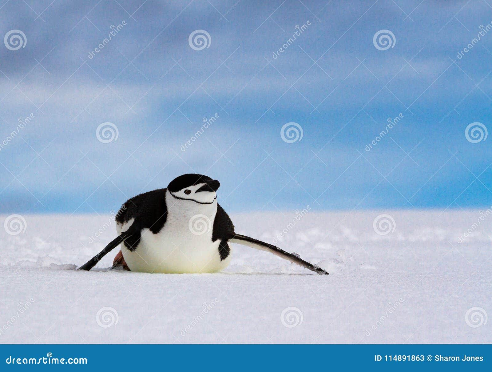 Antarcticus Pygoscelis пингвина Chinstrap сползая на белый снег против голубого неба, Антарктику