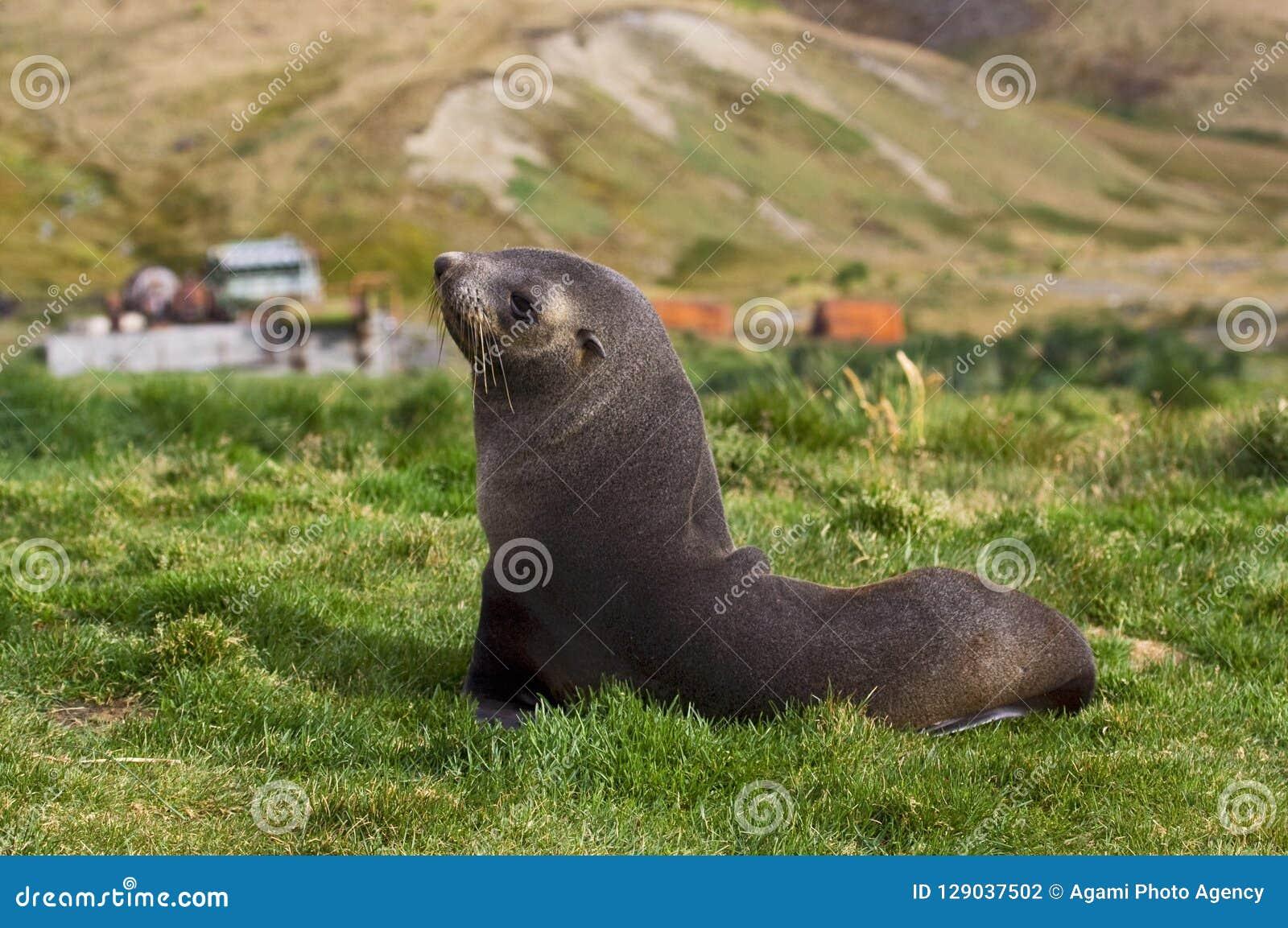 Antarctische Pelsrob, guarnizione di pelliccia antartica, arctocephalus gazella