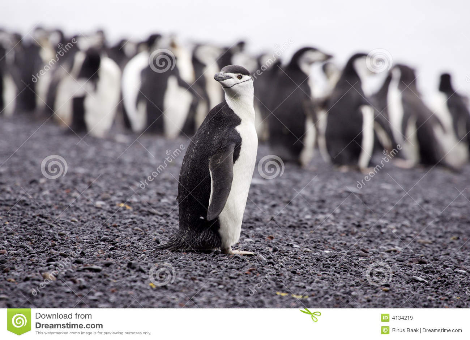 Antarktischinstrappingvin