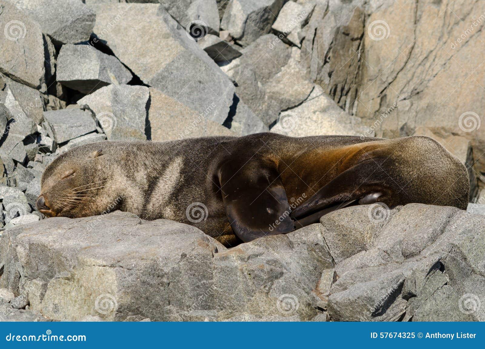 Antarktyczny Futerkowej foki dosypianie na skałach
