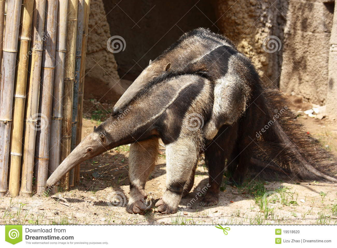 Anteaters Mating Stock Photo - Image 19518620-2353