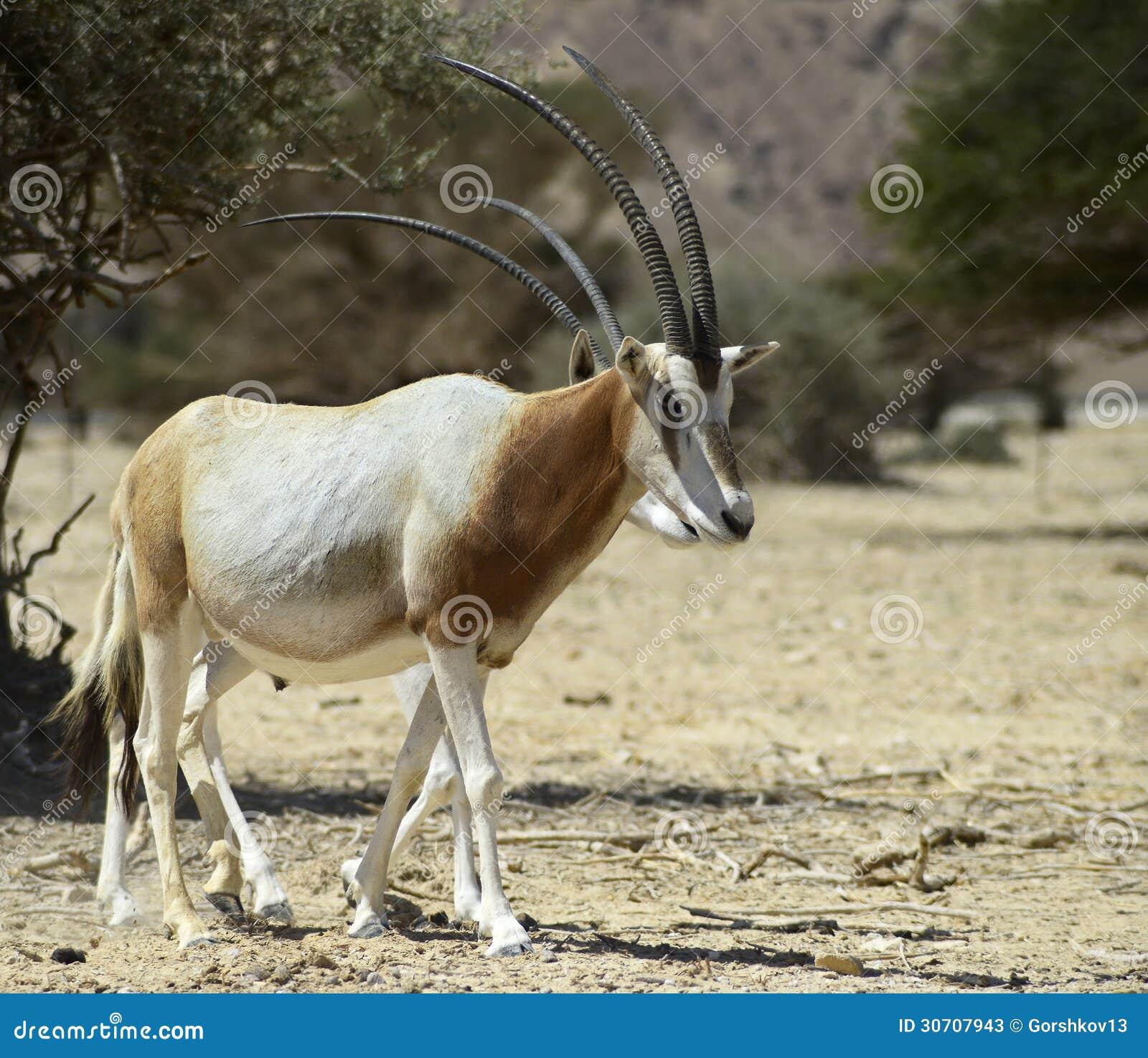 Antelope Oryx In Israeli Nature Reserve Stock Photos