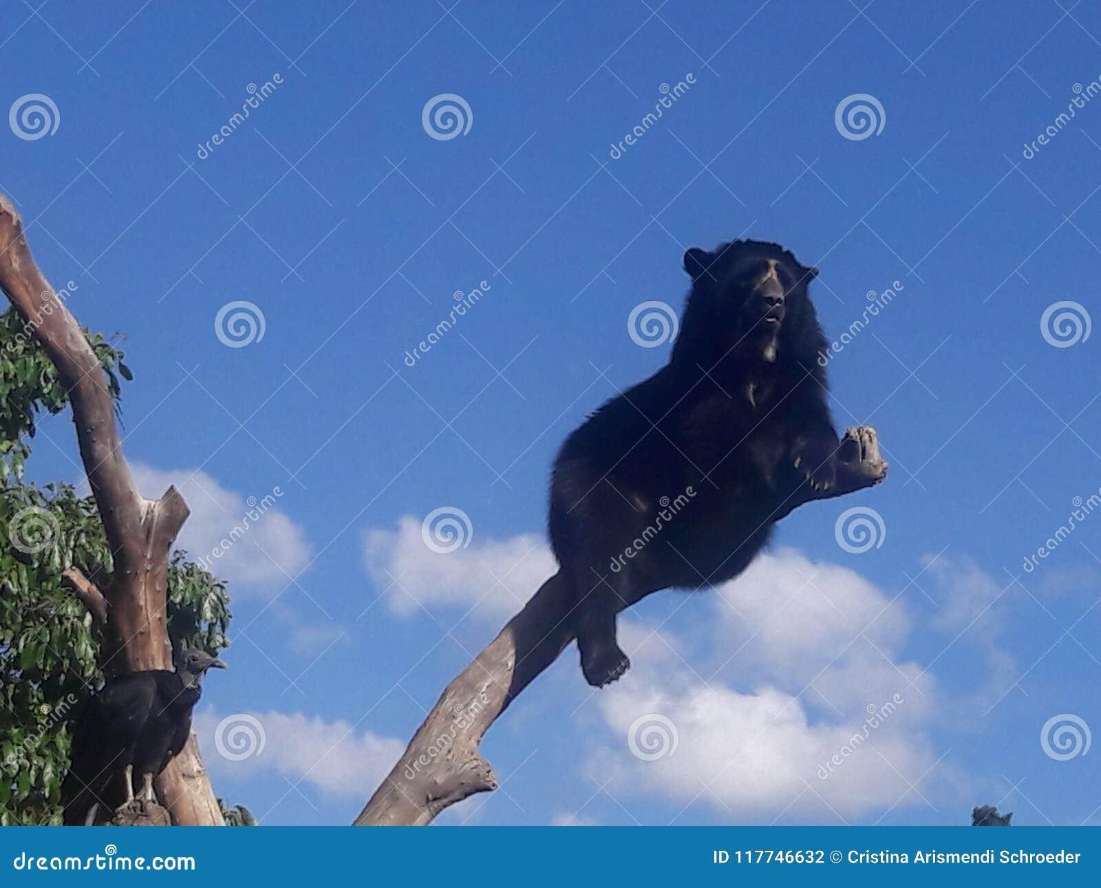 Anteojos de oso