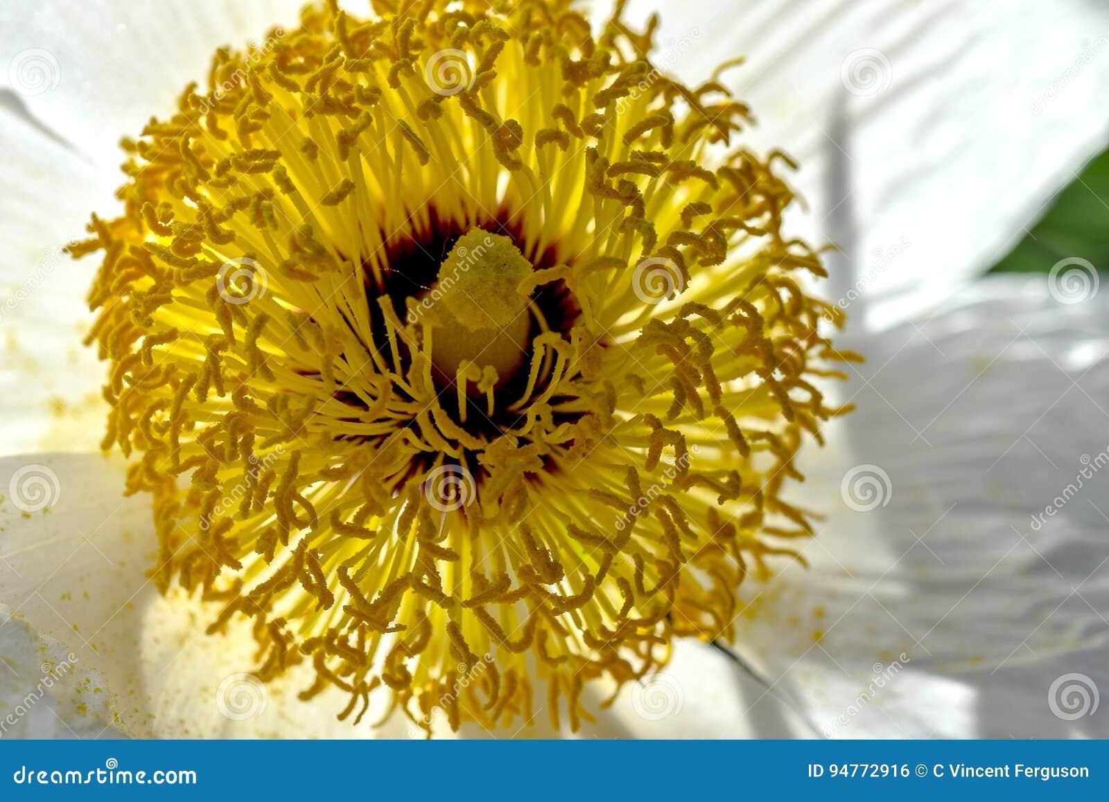 Antere gialle, Poppy Romneya bianca