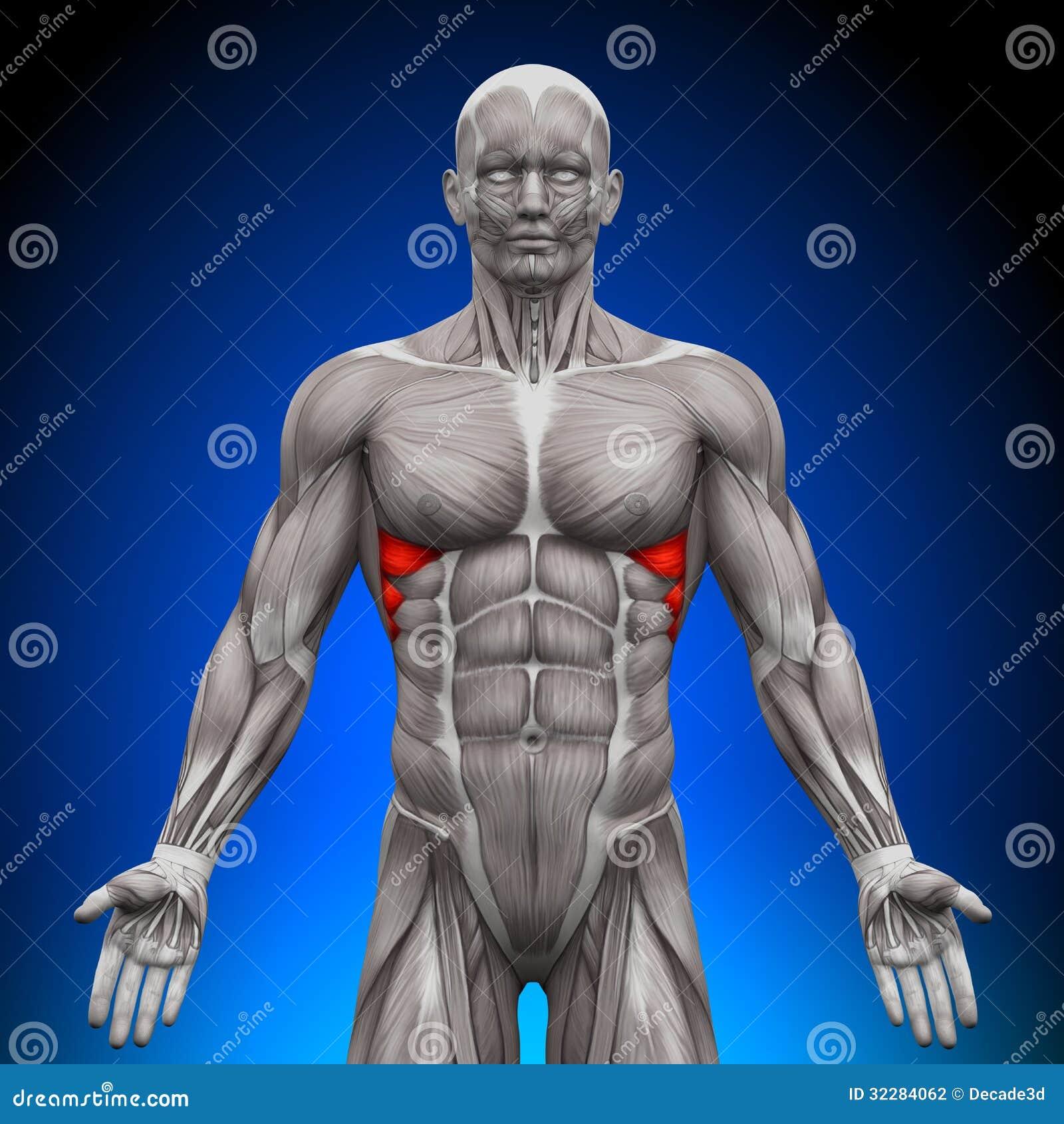 Anterior De Serratus - Músculos De La Anatomía Stock de ilustración ...