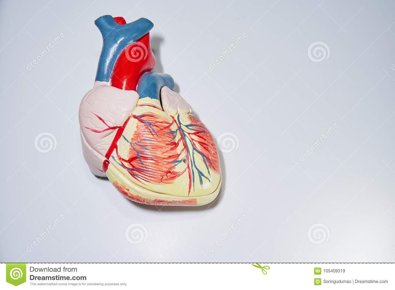 Anterior Face Of The Human Heart With Coronary Arteries Stock Image ...