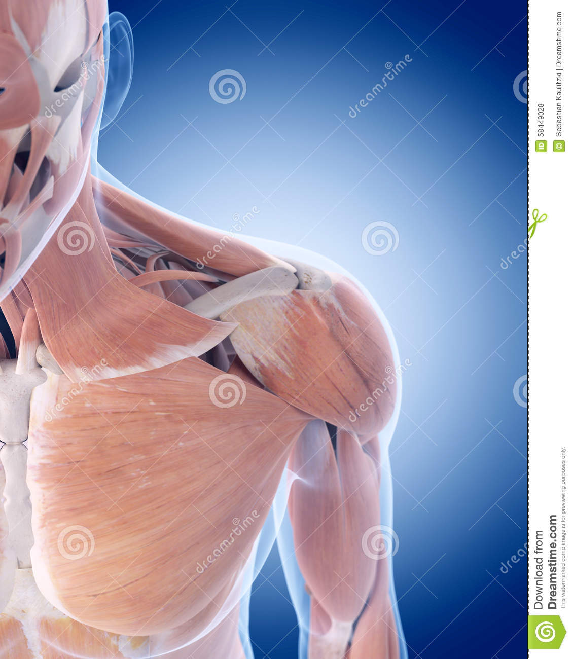 The anterior shoulder muscles