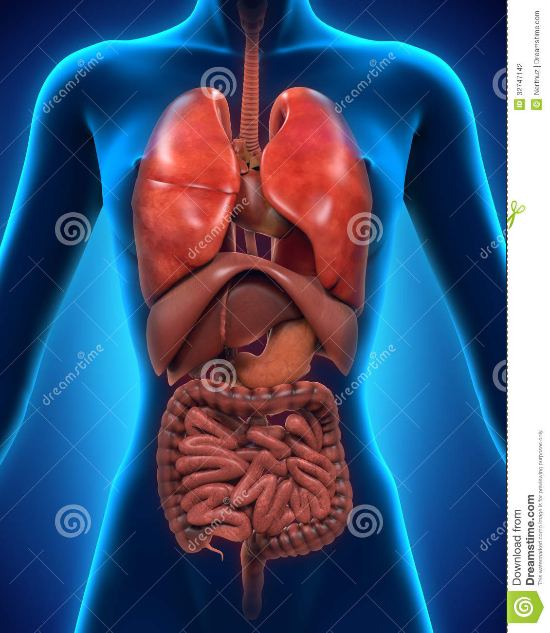 Anterior view of human body stock illustration illustration of anterior view of human body ccuart Image collections