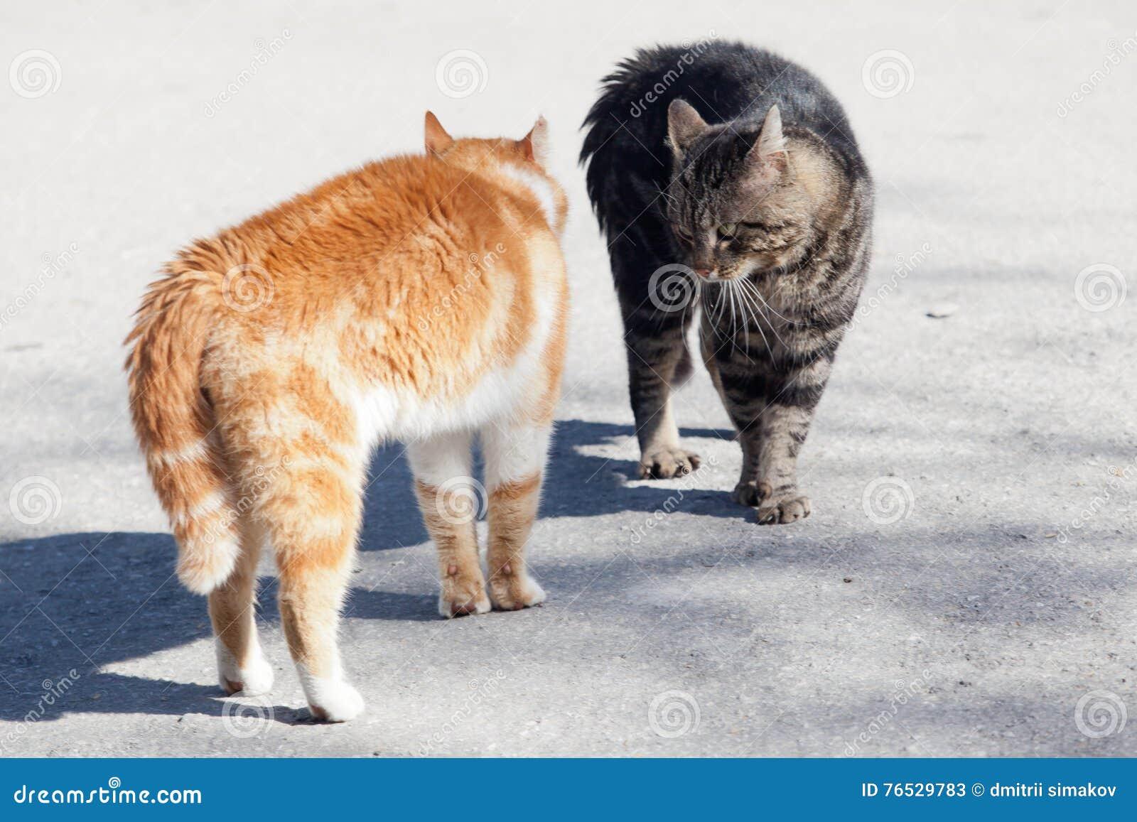 Antes da luta do gato vermelho e cinzento