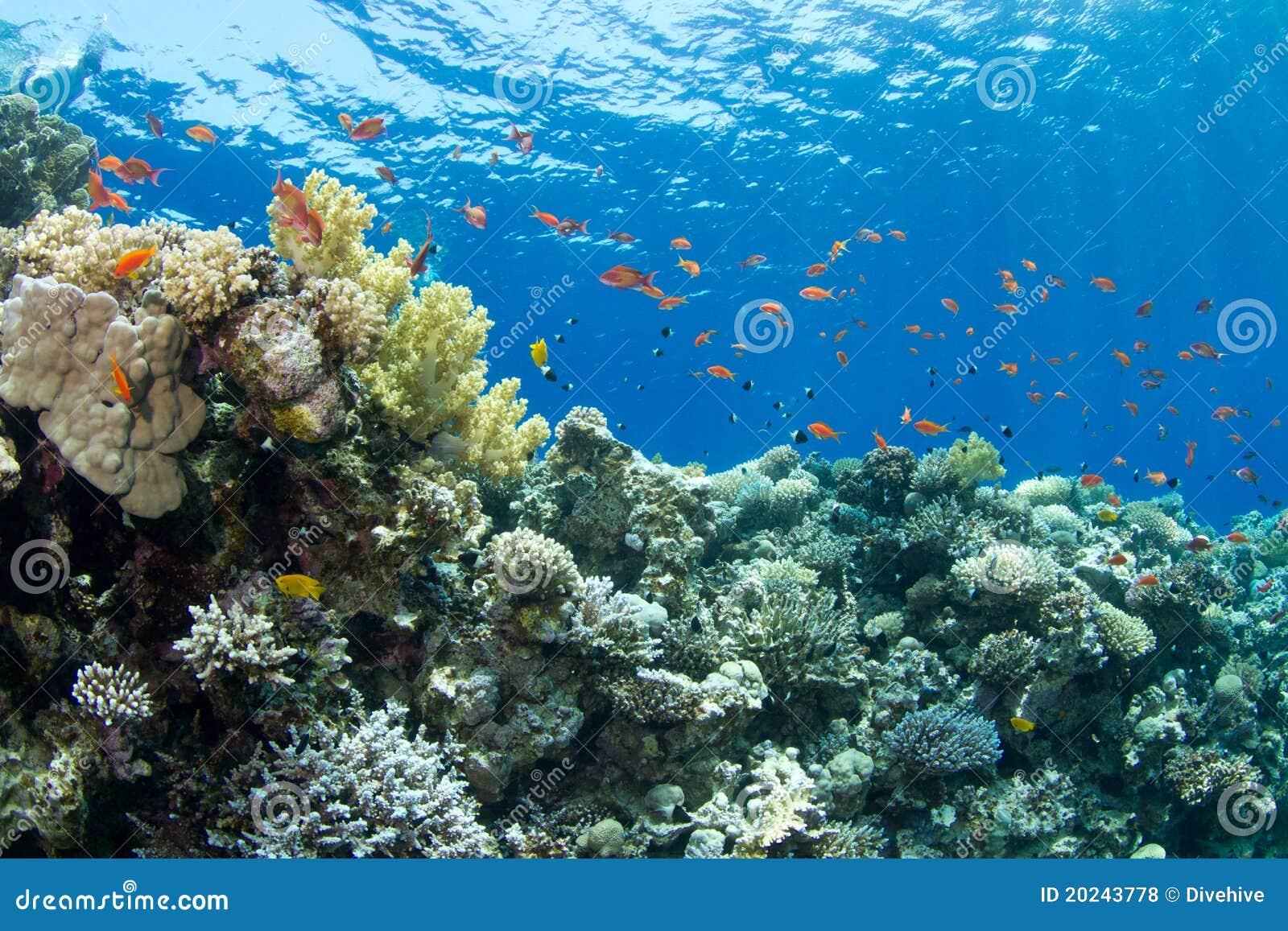 Anthias珊瑚lyretail礁石