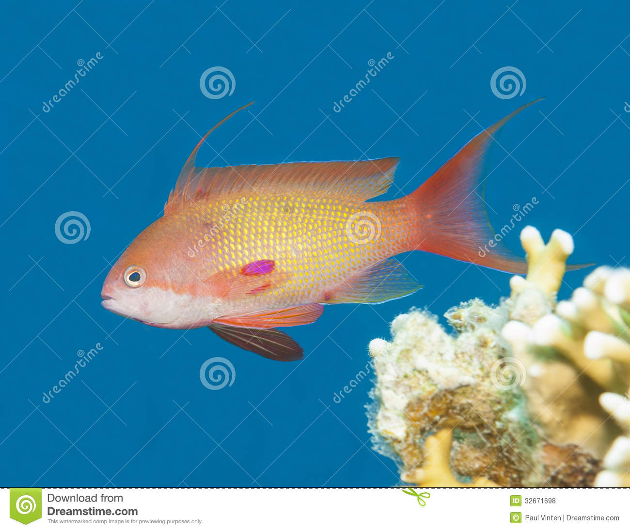 Anthias fish swimming in blue water stock photo image of for Dream of fish swimming