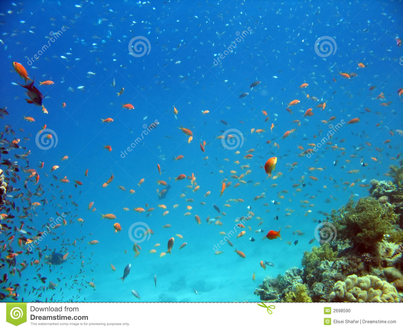 Anthias and other fish stock photo image 2698590 for Other fish in the sea