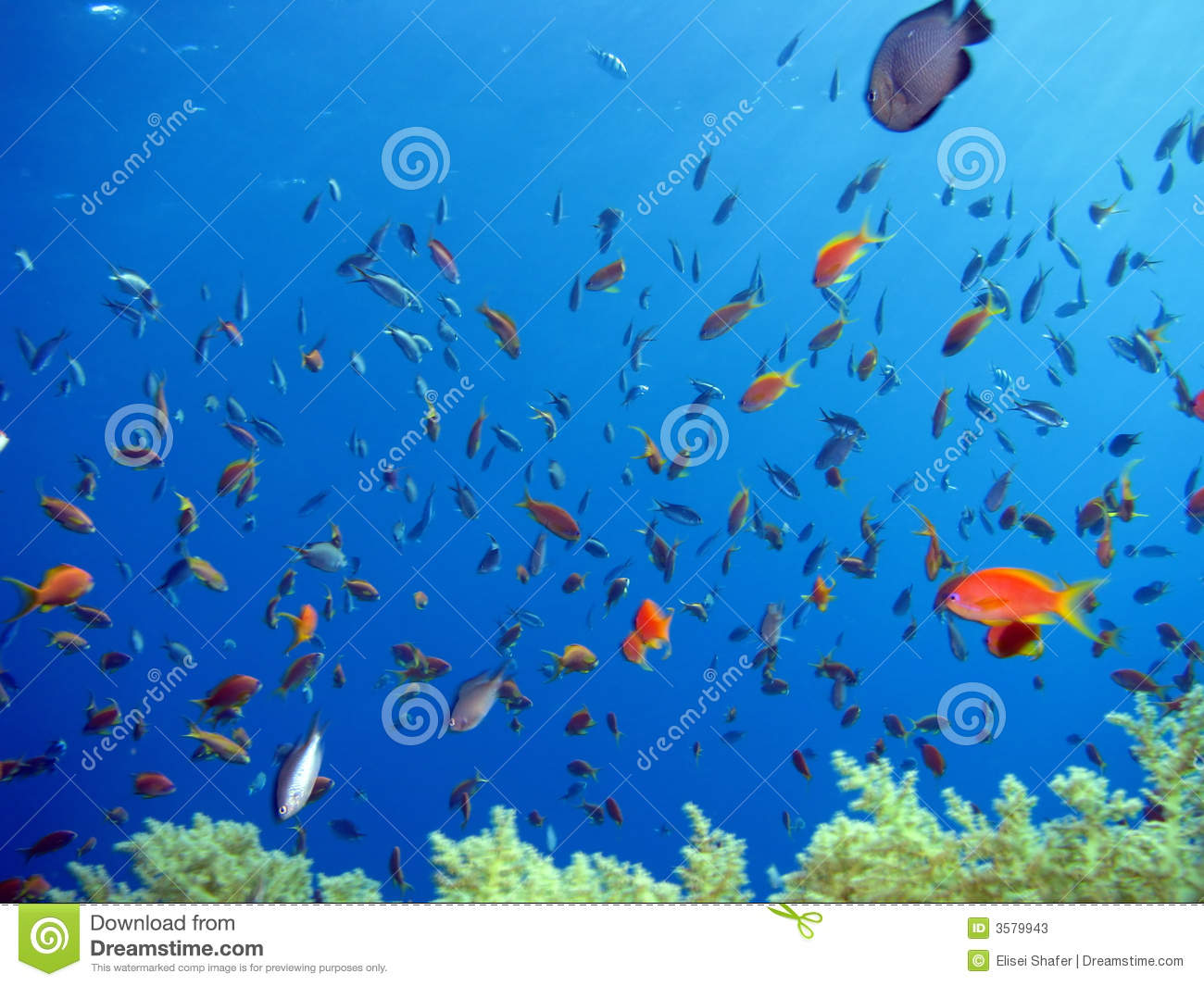 Anthias and other fish stock photos image 3579943 for Other fish in the sea
