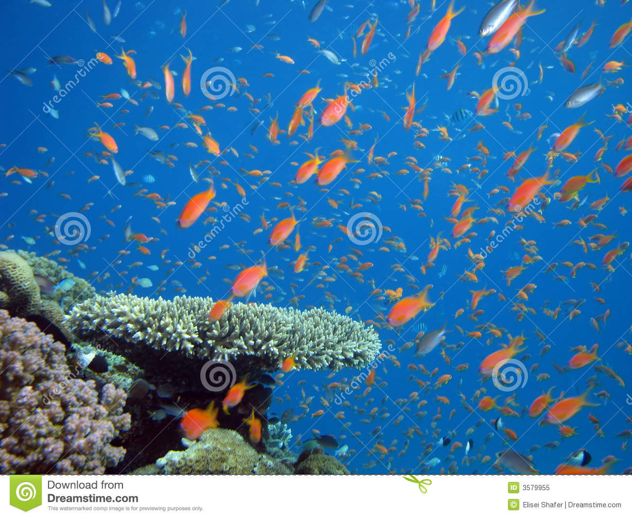 Anthias and other fish royalty free stock photo image for Other fish in the sea