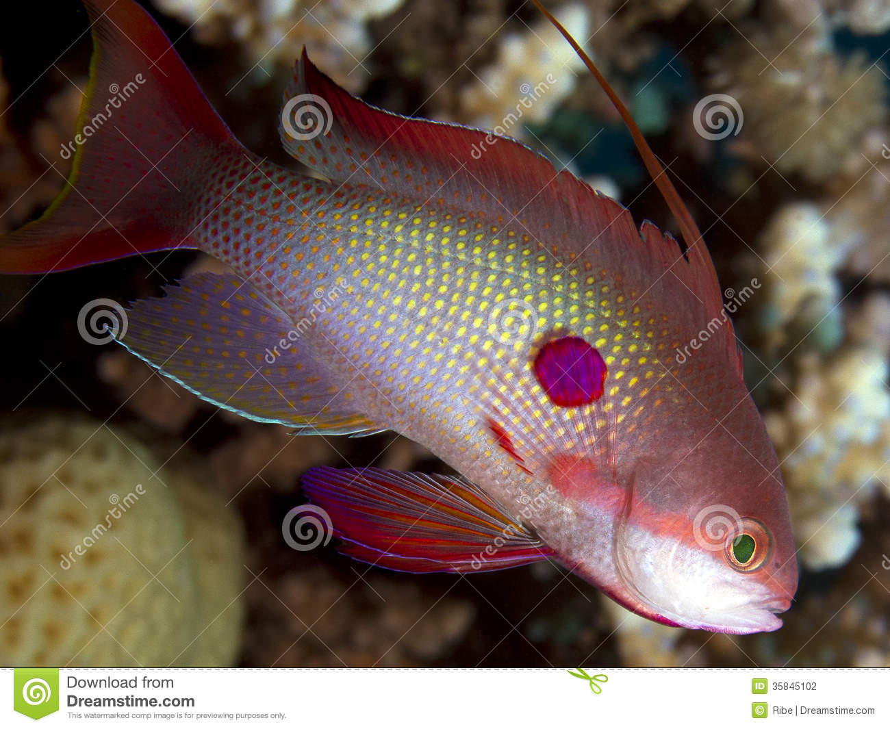 Anthias saltwater fish stock photography image 35845102 for Red saltwater fish